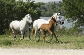 stock photo of foal  - horses and a foal galluping in the campaign - JPG
