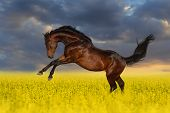 stock photo of rape  - Beautiful bay horse run gallop in rape field - JPG