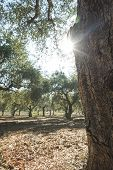 image of olive trees  - Olive trees and sun rays - JPG