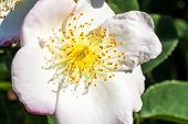 picture of rose close up  - Close up of a white rose in a garden - JPG