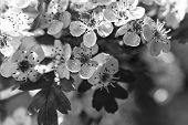 picture of vulva  - Hawthorn flower with bokeh in a british garden  - JPG