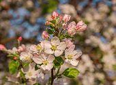 stock photo of apple tree  - flowering tree Apple tree flower pink leaf spring - JPG