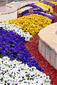 pic of viola  - Viola pansy flower composition close - JPG