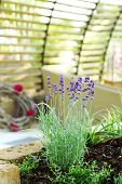 foto of lavender plant  - Detail of lavender plant in patio - JPG