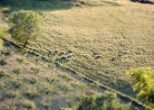 pic of tilt  - Flock of sheep in a Tuscan hill with tilt and shift effect.