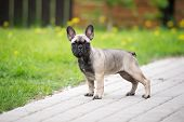 picture of bulldog  - young french bulldog puppy outdoors in summer - JPG