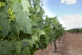 stock photo of tierra  - First green grapes at Tierra de Barros Region with its unique red soil Extremadura Spain - JPG