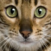 foto of bengal cat  - close up of a Bengal kitten  - JPG