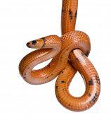 Honduran milk snake, Lampropeltis triangulum hondurensis, hanging in front of white background