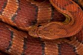 High angle view of corn snake or red rat snake, Pantherophis guttattus