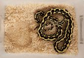 High angle view of Morelia spilota variegata, a subspecies of python, in a cage