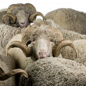 Herd of Arles Merino sheep, rams, in front of white background