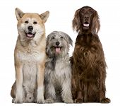 Irish Setter, Akita Inu and Pyrenean Shepherd dog, 4 years, 5 years, and 7 months old, in front of w