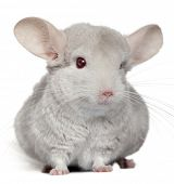 Chinchilla, 5 years old, in front of white background