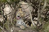 Young leopard yawning in Serengeti, Tanzania, Africa