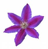 Purple Clematis Bloom 2