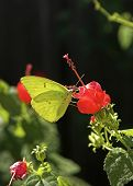 Sulfur Butterfly On A Bright Red Flower