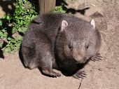 picture of wombat  - a young wombat exploring the world - JPG