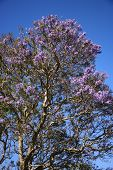 Jacaranda tree blooming with purple flowers against blue sky in Maui, Hawaii.