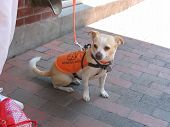 Hearing Dog On Leash