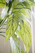 Green leaves of Chinese Evergreen houseplant.