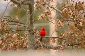 Red Bird Cardinal poster