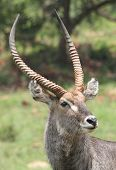 Waterbuck Kobus Ellipsiprymnus