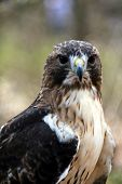 picture of small-hawk  -   - JPG