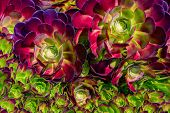 Large And Small Succulent Plant On Sunny Day, Top View. Houseleek Plant Background. Sempervivum Tect poster