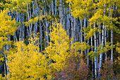 pic of colorado high country  - Autumn Aspen trees along Dallas Creek Colorado - JPG