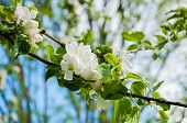 Spring Apple Tree With White Flowers In Blossom On The Background Of Blue Sky, Spring Background. Sp poster