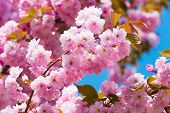 Cherry Tree In Pink Flowers On Blue Sky Background, Bloom. Blossoming Sakura On Sunny Day, Spring. B poster