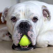 English Bulldog with Tennis Ball