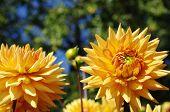 Colorfu yellow dahlias