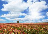 Spring flowering. Kibbutz fields of flowering garden buttercups. Lush cumulus clouds fly over the fi poster