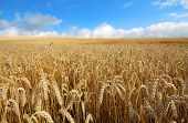 Landscape With Warm Colored Yellow Wheat Crops On Sunny Day On Rural Farmland. Ears Of Golden Wheat  poster