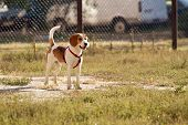 Happy hound dog are running outdoors. Happy dog pet poster