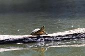 One Slider Turtle Sunning On A Log Floating In The Water, Looking To Viewers Right. Also Known As Th poster