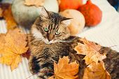 Angry Maine Coon Cat Playing With Autumn Leaves, Lying On Rustic Table With Pumpkins. Thanksgiving O poster