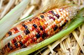 Fresh Decorative Indian Corn