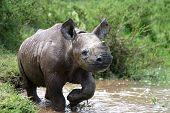 Baby schwarzen rhino