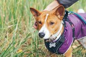 Basenji Dog Is Dressed In Pet Clothes - Violet Color Coat And Special Puppy Harness. Dog Is Walking  poster