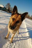 Funny German Shepherd Dog Standing On The Snow