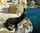 Sealion barking