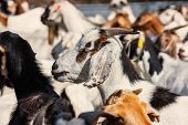 Herd of goats in Botswana, southern Africa, Africa poster