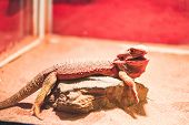 Bearded Dragon Resting In Their Natural Habiat In The Zoo. Endangered Lizard Of The World poster