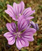 Common Mallow Flowers