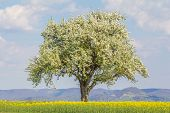 Large Single Tree In Warm Spring Nature With Blooming Blossoms. One Majestic Tree In Warm Time Of Ye poster