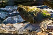 Closeup Of A Kea Parrot, Endangered Bird Specie From New Zealand poster