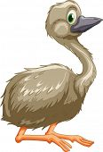 Illustration of isolated emu bird - EPS VECTOR format also available in my portfolio.